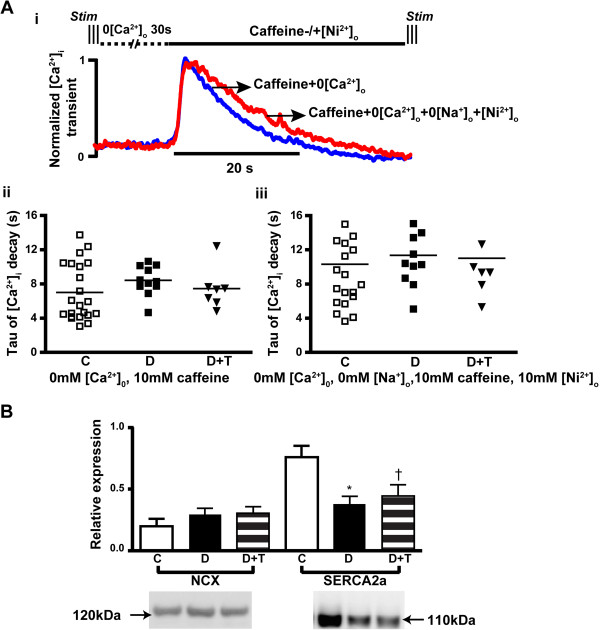 Alterations in SERCA2a and NCX in LV myocardium. (A)  Caffeine-induced Ca 2+  transients were recorded from cardiomyocytes isolated from each group of rats, which were exposed to a series of solution changes as described in methods. (i) shows examples of normalized caffeine-induced Ca 2+  transients from a single cell, with pooled data shown in (ii)  (iii). There was no significant difference in the time-constant of decay of caffeine-induced Ca 2+  transients among groups in either of the caffeine perfusion solutions, indicating no change of NCX activity among groups. These data suggest that the slower decay of the Ca 2+  transient in diabetic rats did not arise from differences in NCX function. Consistently, a western blotting study  (B)  showed no significant change in NCX levels (molecular weight 120kDa, n=8 in each group) among groups, but decreased expression of SERCA2a (molecular weight 110kDa, n=7 in each group) in diabetic rats. TETA had no effect on levels of either transporter. C: Control (Open bars); D: Diabetic (Solid bars); D+T: TETA-treated diabetic (Patterned bars). Data are means±SEM, one-way Kruskal-Wallis ANOVA with  post-hoc  application of Dunn's Multiple Comparisons test ( P= 0.0007): * C vs D,  P