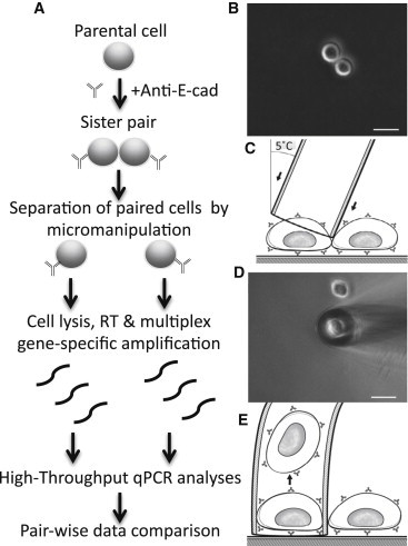 Single Sister Cell Analyses (A) Procedures to evaluate the fidelity of cell division by analyzing RNA levels in each sister cell. Anti-E-cadherin (anti-E-cad) was added to keep cells in suspension. Lists of genes and primer information are described in Table S2 and S3 , respectively. (B) A pair of sister cells before the sister cell microdissection. (C) Paired sister cells were separated by providing physical pressure on the junction between sister cells using a glass pipette. (D) Sister cells were separated by the glass pipette. (E) Each sister cell was recovered by altering the temperature of the glass pipette. After one of the sister cells was transferred to AG480F slide, Quixell system automatically brought back the pipette to the first picking position, and the other sister cell could be isolated and transferred. Scale bars, 20 μm. See also Figure S1 , Tables S1 , S2 , and S3 , and Movie S1 .