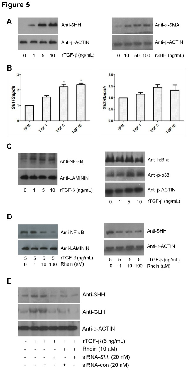 Rhein inhibits SHH and NF-κB signals in-vitro . (A) LTC-14 cells were treated with recombinant TGF-β (0, 1, 5 or 10 ng/mL) or SHH (0, 10, 50 or 100 ng/mL) in SFM for 24 hours and subjected to Western blotting analyses. Immunoblots were probed with anti-SHH antibody for the TGF-β treatment or probed with anti-α-SMA antibody for the SHH treatment. β-ACTIN was served as a loading reference. (B) LTC-14 cells were treated with TGF-β (0, 1, 5 or 10 ng/mL) in SFM for 24 hours and harvested for mRNA extraction. Transcripts of Gli1 and Gli2 were amplified by means of qPCR, normalized to the endogenous reference Gapdh and expressed as fold changes over the non-TGF-β-treated control (SFM control). * p