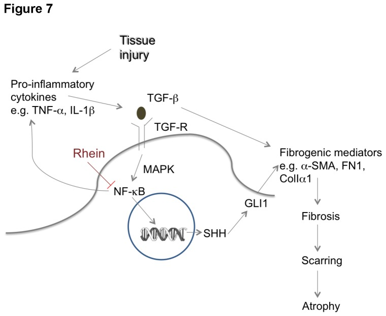 A schematic flow chart showing the roles of TGF-β and SHH/GLI1 signaling pathways in pancreatic fibrosis.