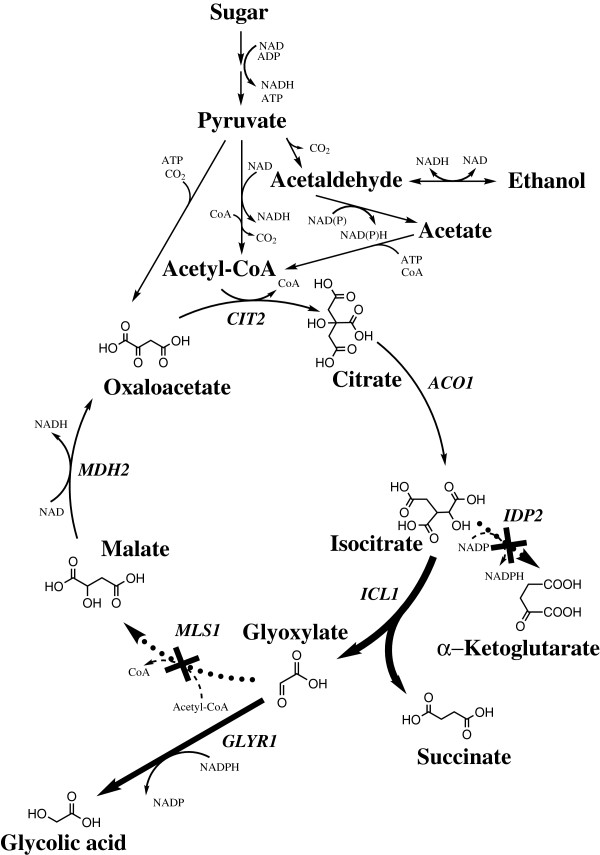 Engineered glyoxylate cycle. Engineering of the glyoxylate cycle for glycolic acid production in Saccharomyces cerevisiae . The genetic modifications done in this work are indicated by bold and dashed arrows. Production and consumption of redox co-factors on the steps from sugar to pyruvate are dependent on the substrate used as a starting material.
