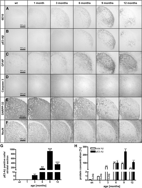 Kinetics of homozygous E8 mice. Immunohistochemical analysis of hom E8 animals from the age of 1–12 months compared to wt animals (A-F) . Staining with 6E10 revealed progressive increase of total <t>Aβ</t> immunoreactivity from the age of 1–9 months with a decline at 12 months (A) . Increase of <t>pE3-Aβ</t> reactivity from 3–9 months and decline at 12 months (B) is accompanied by GFAP reactivity (C) . Apoptotic processes are indicated provided by progressive caspase 3 activity beginning at the age of 3 months (D) . The lateral striatum shows a progressive decrease of DARPP-32 reactivity of neuropil from the age of 6 months (E) . The different processes result in decreased NeuN positive cells of E8 animals indicating cell loss beginning in at the age of 6 months (F) . Quantification of pE3-Aβ positive cells in the striatum of hom E8 animals revealed exponential increase from 3–9 months and declining numbers at the age of 12 months to the level of 6 months (G) ; data were analyzed by one-way ANOVA followed by Newman-Keuls post-hoc test and represent means ± SEM; ** p