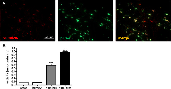 QC overexpression. Double immunofluorescent labeling of hom/hom E8-hQC animals revealed human QC specific immunoreactivity (red) colocalized with pE3-Aβ (green) in the striatum (A) . Analysis of QC activity at the age of 6 months revealed an indistinguishable activity for ETNA animals compared to wt animals and a ~60-fold increase for het and ~100-fold increase for hom overexpression of hQC (B) ; data were analyzed by one-way ANOVA followed by Newman-Keuls post-hoc test and represent means ± SEM; *** p