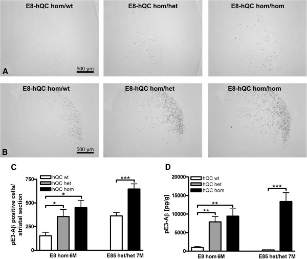 Influence of QC overexpression on pE3-Aβ formation. Staining of striatal sections of transgenic E8-hQC mice demonstrated an increase of pE3-Aβ positive cells by het and hom hQC overexpression, respectively at the age of 3 months (A) and 6 months (B) . Quantification of these pE3-Aβ positive cells revealed a significant increase for het and hom overexpression of hQC in homs E8 animals at the age of 6 months and in het/het E85 animals at the age of 7 months (C) ; E8 were analyzed by one-way ANOVA followed by Newman-Keuls post-hoc test; E85 were analyzed by unpaired t-test; data represent means ± SEM; * p