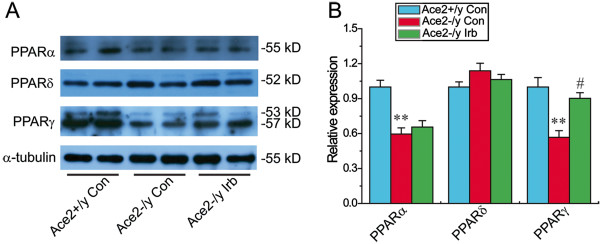 Cardiac protein levels of PPARα, PPARδ and PPARγ in mice. Representative Western blot (A) exhibited cardiac protein expression (B) of PPARα, PPARδ, and PPARγ in mice. α-tubulin was used as endogenous control. Irb = irbesartan, PPAR, peroxisome proliferator-activated receptor. n = 5 for each group. ** P