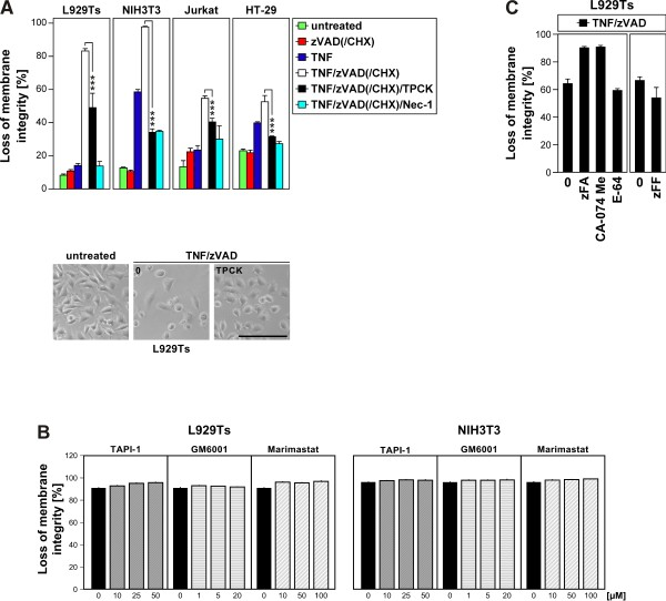 Inhibition of serine proteases, but not metalloproteases, cathepsin or calpain/cysteine proteases protects from TNF-induced necroptosis. A . Cells were stimulated or not with 100 ng/ml TNF for 5 (L929Ts), 16 (NIH3T3, HT-29), or 20 h (Jurkat) with optional addition of 20 (L929Ts, NIH3T3, HT-29) or 50 μM (Jurkat) of the broad-spectrum caspase inhibitor zVAD-fmk to prevent apoptosis, 2 (Jurkat) or 5 μg/ml (HT-29) cycloheximide (CHX) to sensitize for necroptosis [ 14 ] and 50 (L929Ts, NIH3T3) and 25 μM (Jurkat, HT-29) TPCK, or 50 μM of the necroptosis inhibitor necrostatin-1 (Nec-1, to confirm necroptosis). Subsequently, the cells were analyzed for loss of membrane integrity as a marker for cell death by PI staining and flow cytometry. Asterisks indicate statistical significance (t-test), * p