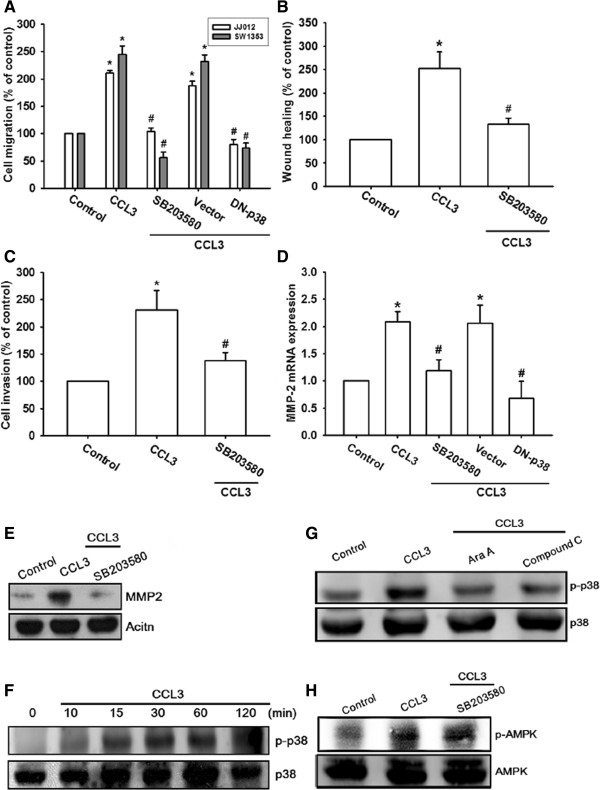 AMPK-dependent p38 pathway is involved CCL3-induced migration and MMP-2 expression. (A-E): Cells were pretreated for 30 min with SB203580 (10 μM) or transfected with p38 mutant for 24 h. Subsequently, they were stimulated with CCL3 (30 ng/ml) for 24 h, and in vitro migration (A B) , invasion (C) , and MMP-2 (D E) expression were measured with the Transwell assay, wound healing assay, qPCR, and western blotting. (F): JJ012 cells were incubated with CCL3 for indicated time intervals, and p-AMPK expression was examined by western blotting. (G H): Cells were pretreated for 30 min with Ara A, compound C, or SB203580 followed by stimulation with CCL3. The p-p38 (G) and p-AMPK (H) expression was measured by western blotting. Results are expressed as the mean ± SE. * P