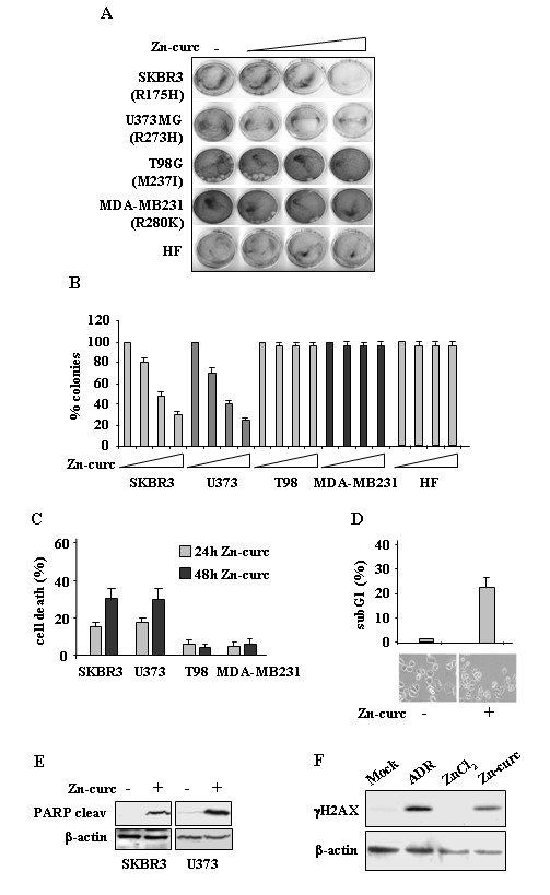 Zn-curc impairs survival of mutant p53-carrying cells. (A) Tumor cells (4 x 10 4 ) were plated in 60 mm dish and 24 h later treated with increased amount of Zn-curc (20, 50, 100 μM). Twenty-four hours later, plates were washed with PBS and fresh medium was added. Death-resistant colonies were stained with crystal violet 14 days later. (B) Death-resistant colonies as in (A) were counted and plotted as percentage ± SD of two independent experiments performed in duplicate. (C) Cells (3 x 10 5 ) were plated at subconfluence in 60 mm dish and the day after treated with Zn-curc for 24 and 48 h. Cell viability was measured by trypan blue exclusion assay and expressed as percentage ± SD of two independent experiments. (D) Cytofluorimetric analysis of the SubG1 peak evaluated by Propidium Iodide (PI) staining (upper panel) and microscopical analysis of SKBR3 cells, mock-treated or treated with Zn-curc (100 μM) for 24 h (lower panel). Percentage of apoptotic cells is shown ± SD of two independent experiments. (E) SKBR3 and U373 cells were treated with Zn-curc (100 μM) for 24 h. Equal amount of total cell extracts were subjected to immunoblot with anti-PARP (cleaved form, 87 Kd) or anti-β-actin antibodies. (F) RKO cells were treated with Zn-curc (100 μM), ZnCl 2 (100 μM) or adryamicin (ADR, 2 μg/ml) for 24 h. Equal amount of total cell extracts were subjected to immunoblot with anti-γH2AX (phopho-Ser139) or anti-β-actin antibodies.