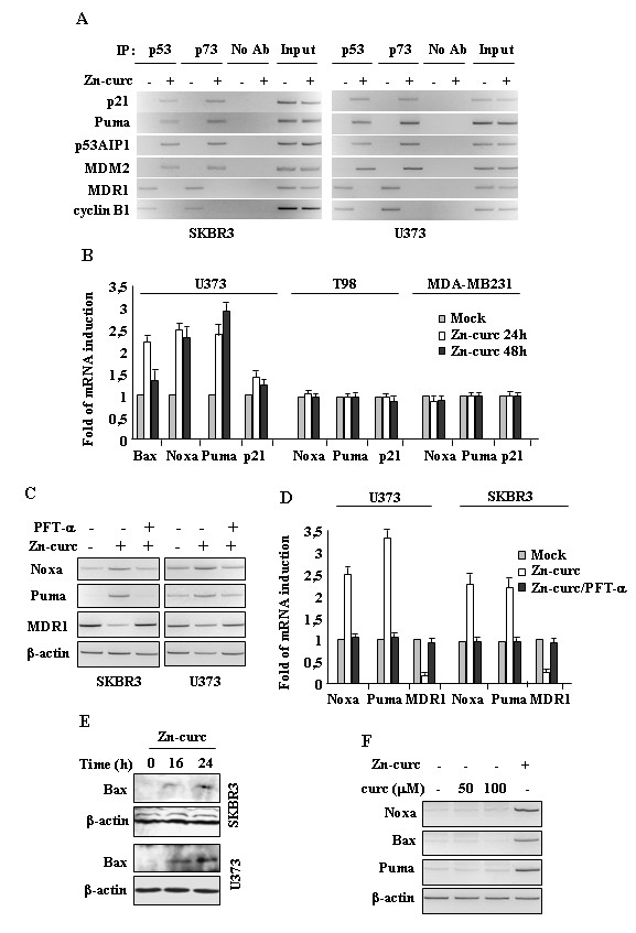 Zn-curc restores wild-type p53-DNA binding and transactivating activities. (A) SKBR3 and U373 cells (6x10 6 ) were plated in 150 mm dish and the day after treated with Zn-curc (100 μM) for 16 h before assayed for chromatin immunoprecipitation analysis (ChIP) with anti-p53 or anti-p73 antibodies. PCR analyses were performed on the immunoprecipitated DNA samples using primers specific for wtp53 target gene promoters (p21, Puma, p53AIP1, MDM2) or for mtp53 target promoters (MDR1, cyclin B2). A sample representing linear amplification of the total chromatin (Input) was included as control. Additional controls included immunoprecipitation performed with non-specific immunogloblulins (No Ab). (B) Cells (3x10 5 ) were plated at subconfluence in 60 mm dish and the day after treated with Zn-curc for 24/48 h. p53 target genes were detected by RT-PCR analysis. Gene expression was measured by densitometry and plotted as fold of mRNA expression over control (Mock), normalized to β-actin levels, ±SD. (C) SKBR3 and U373 cells were plated at subconfluence in 60 mm dish and the day after treated with Zn-curc (100 μM) for 24 h, with or without p53 inhibitor pifithrin-α (PFT-α) (30 μM). p53 target genes were dtected by RT-PCR analysis. β-actin was used as control. (D) Gene expression as in (C) , was measured by densitometry and plotted as fold of mRNA expression over control (Mock), normalized to β-actin levels, ±SD. (E) SKBR3 and U373 cells were treated with Zn-curc (100 μM) for the indicated hours and total cell extracts were subjected to immunoblot analysis. (F) U373 cells were plated at subconfluence in 60 mm dish and the day after treated with curcumin (Curc) (50, 100 μM) for 24 h. Zn-curc (100 μM for 24 h) was used as control of p53 activation. p53 target genes were detected by RT-PCR. β-actin was used as control.