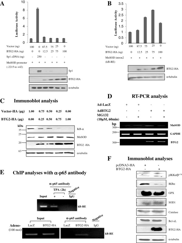 Activation of NFκB-response element in the 2 nd intron of MnSOD gene by BTG2. (A) MnSOD promoter analysis; Cells (0.5×10 5 /12 wells) were cotransfected with BTG2 cDNA and promoter DNA of MnSOD gene and then subjected to luciferase analysis. Transfection of BTG2 up to 100 ng failed to activate promoter of MnSOD. Sp1 cDNA was employed as a positive control. Lower panel shows protein expressions of the transfected DNAs and loading control. (B) Cells were cotransfected with BTG2 cDNA and the κB-RE before luciferase assay. Expression of MnSOD was significantly increased with transfection of BTG2, indicating the activation of κB-RE by BTG2. Immunoblot analysis shows protein expression of BTG2-HA and loading control. (C) To further investigate the regulation of NFκB activation and MnSOD induction by BTG2 expression, IκBα degradation was examined by immunoblot analysis. Note the degradation of IκBα and MnSOD expression in the BTG2-dependent manner. (D) Transduction of HeLa cells with Ad-BTG2 was performed and then treated with 10 μM of MG132 for 1 h before RT-PCR analysis. MG132 abolished induction of MnSOD expression by BTG2, suggesting the upregulation of MnSOD expression by BTG2 via proteasomal degradation of IκBα. (E) Cell lysates with the LacZ or the BTG2 expressers were subjected to ChIP analysis with anti-p65 antibody, and then the interaction was verified by PCR reaction with the primers written in the Additional file 5 . To verify our analysis, HeLa cells were treated with or without 100 ng of 12- O -tetradecanoylphorbol-13-acetate (TPA) for 2 h and then applied to ChIP assay as a positive and negative control. Unstimulated IgG was employed to exclude the nonspecific interaction. Inputs indicate total amount of κB-RE present in the samples. Note the interactions of p65 with κB-RE only in the BTG2 expressers and the TPA treated positive cells. (F) Immunoblot analyses showing the activation of IKKα/β in the BTG2 overexpressers without any changes in the expression of other anti-oxidant enzymes.