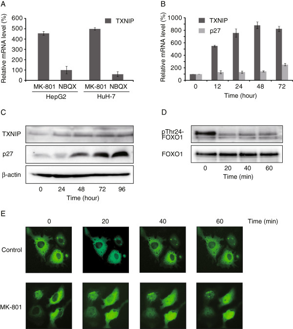 Activation of FOXO pathway and TXNIP induction. A : HepG2 and HuH-7 cells were treated with 250 μM MK-801 or NBQX for 12 h. cDNA was synthesized and real-time quantitative PCR was carried out using Taqman gene expression assay primers. Each reaction was performed in duplicate. The β-actin gene was used to normalize across assays and runs, and the threshold value (Ct) for each sample was used to determine gene expression levels. Each bar represents the mean ± SD of at least three replicates. B : HepG2 cells were treated with 250 μM MK-801 and expression of TXNIP and p27 was measured by real-time quantitative PCR for 72 h. Each bar represents the mean ± SD of at least three replicates. C : HepG2 cells were treated with 250 μM MK-801 for 0 to 96 h and Western blot analysis was performed using indicated antibodies. D : HepG2 cells were treated with 250 μM MK-801 for 0 to 60 min and Western blot analysis was carried out using indicated antibodies. The molecular weight of dephosphorylated band corresponded to Thr24 of FOXO1 E : FOXO1-pAcGFP-N1 plasmid was transfected to HepG2 cells and treated with or without 250 μM of MK-801. Nuclear translocation of FOXO1-GFP protein was observed with Olympus LX71 microscope.