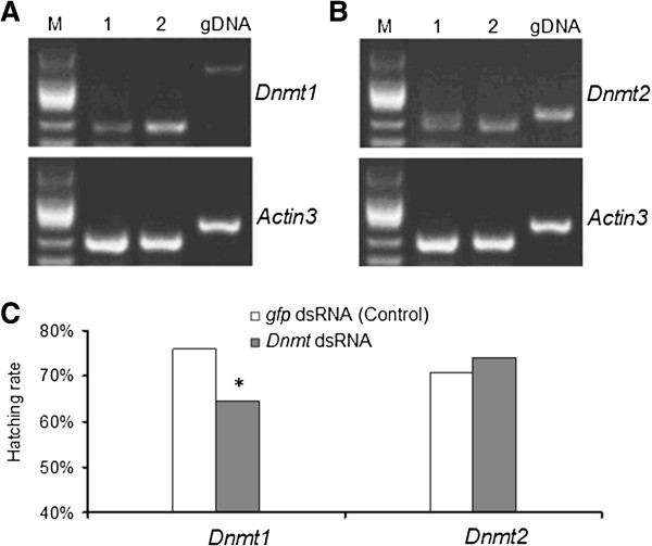 Summary of RNAi depletion experiments. (A) , (B) Semi-quantitive RT-PCR validation of the effects of RNAi knockdown on the Dnmt1 (A) and Dnmt2 (B) , indicating obvious decrease of expression level of Dnmt1 (A) and Dnmt2 (B) . Lane 1 indicate amplification using <t>cDNA</t> from Dnmt1 RNAi eggs (A) and Dnmt2 RNAi eggs (B) , respectively; Lane 2 indicate amplification using cDNA from Non-specific RNAi control (by embryonic microinjection of gfp dsRNA) eggs. gDNA, PCR using genomic <t>DNA</t> as template to control DNA contamination; M, DNA marker DL2000 (TakaRa, Japan). Actin3 is used as the internal control for Semi-quantitive RT-PCR. (C) Hatching rate of the treated eggs with Dnmt1 RNAi and Dnmt2 RNAi, indicating that RNAi knockdown of Dnmt1 significantly reduces hatched eggs compared to control, but not for Dnmt2 . * significant differences as determined by chi-squared test (p