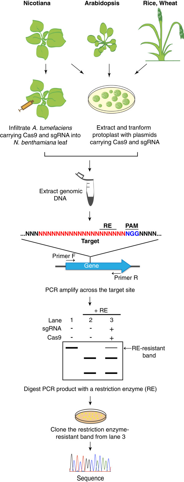 Schematic drawing illustrating examples of genome editing assays in plants. The CRISPR/Cas9 technology was successfully applied in model plants ( Nicotiana benthamiana , Arabidopsis thaliana ) and crops (rice, wheat). The Cas9 nuclease and the sgRNA matching the gene of interest are co-expressed using Agrobacterium tumefaciens as a vector in N. benthamiana leaves or transfected into protoplasts from Arabidopsis, wheat or rice. Then, the genomic DNA is extracted from the leaf tissues or protoplasts and subject to PCR-amplification with primers flanking the target site. The presence of Cas9/sgRNA-induced mutations can be easily detected using the restriction enzyme (RE) site loss method. The RE-resistant band (lane 3) can be cloned. The exact nature of the mutations is then revealed by sequencing individual clones.