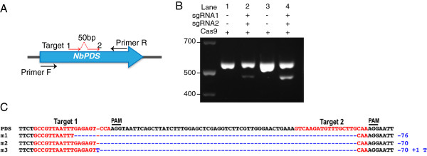 Generation of a chromosomal deletion by targeting two adjacent sequences within the PDS locus of Nicotiana benthamiana. A . Cartoon explaining setup of the experiment. B . Detection of deletion mutations using the AFLP analysis. Agarose gel shows PCR bands amplified across targets 1 and 2 using genomic DNA extracted from respective leaf samples. Cas9, sgRNA1 and 2 were expressed in N. benthamiana leaf tissue using the standard agroinfiltration protocol. In lane 2, Cas9/sgRNA1/sgRNA2 were expressed from three separate plasmids, while in lane 4 they were expressed from a single plasmid. C . Types of deletion mutations identified. Bottom PCR bands from lanes 2 and 4 were cloned into a high copy vector and 15 individual clones were sequenced. All clones contained deletions that can be grouped in three different types (m1-3).