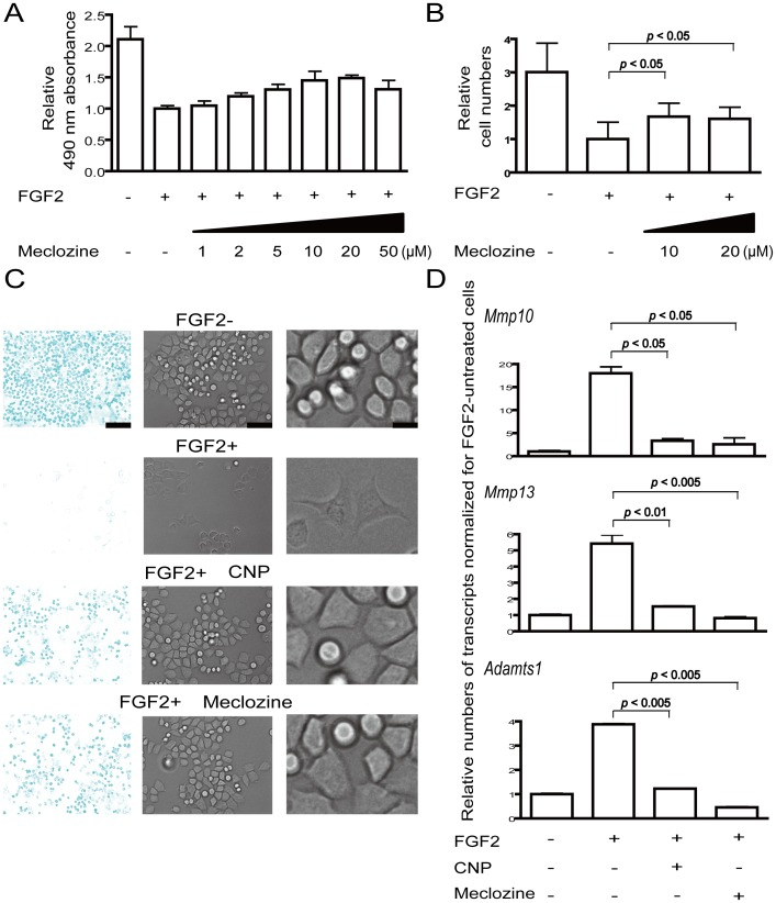 Meclozine promotes chondrocyte proliferation and ameliorates loss of extracellular matrix in FGF2-treated <t>RCS</t> cells. (A, B) RCS cells were treated with 5 ng/ml FGF2 and the indicated concentrations of meclozine for 48 hours. Cell growth was quantified using the MTS assay (A) or by counting cells (B). Data are normalized to that without meclozine and indicated by the mean and SD ( n = 8 for A and 6 for B). Meclozine rescued the FGF2-mediated growth arrest of RCS cells. (C) Meclozine (10 µM) ameliorated FGF2-mediated alteration of cellular shape and loss of extracellular matrix. RCS cells were treated with 5 ng/ml FGF2 with and without 0.2 µM CNP or 20 µM meclozine for 72 hours, and cartilage-like sulfated proteoglycan matrix was stained by <t>Alcian</t> blue. Growing RCS cells were round-shaped and produced abundant cartilage-like sulfated proteoglycan matrix in the absence of FGF2. FGF2 treatment transformed some cells to fibroblast-like shapes and prominently suppressed expression of sulfated proteoglycan matrix. In the RCS cells treated with CNP or meclozine, the cellular shape remained round and the intensity of Alcian blue staining approximated that of FGF2-negative cells. Representative images of triplicated experiments are shown. Magnified images of the middle panels are shown in the rightmost column. Bars in the left, middle, and right panels are 750, 150, and 30 µm, respectively. (D) Meclozine (20 µM) inhibited mRNA expression of matrix metalloproteinases in FGF2-treated RCS cells. Cells were treated with FGF2 and either CNP or meclozine for four hours and mRNAs were quantified by real-time RT-PCR. Expression levels of Mmp10 , Mmp13 , and Adamts1 are presented as the mean and SD normalized to that of FGF2-negative cells ( n = 3). FGF2-mediated increases of Mmp10 , Mmp13 , and Adamts1 mRNA were antagonized by CNP and meclozine. Statistical significance is estimated by Student's t-test.