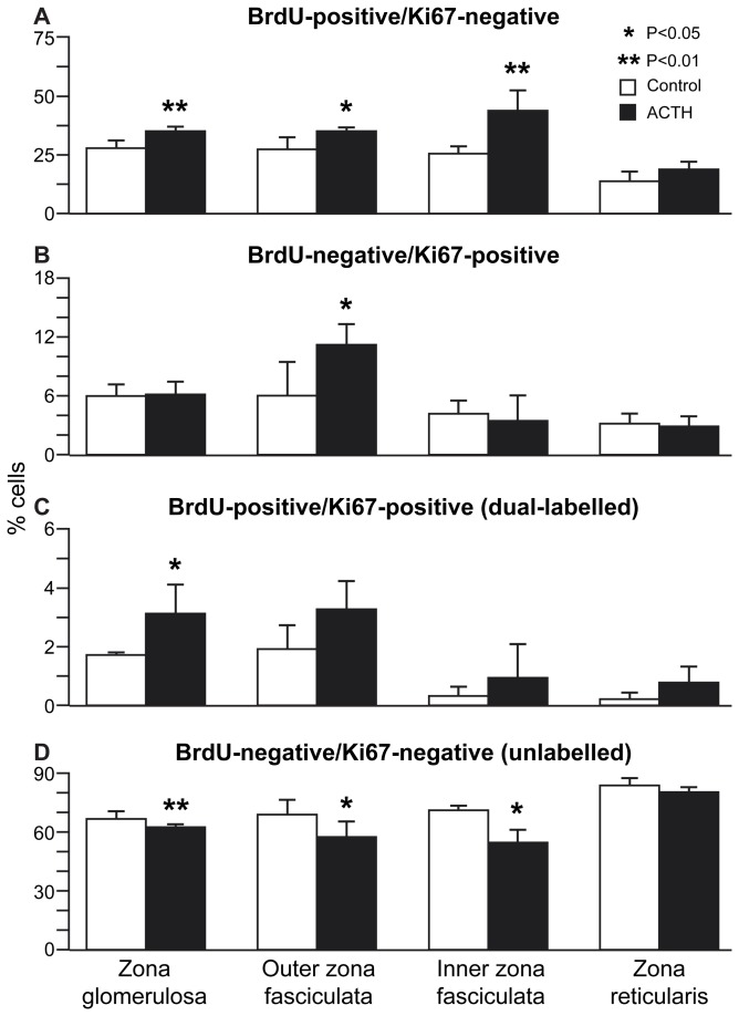 Effect of acute ACTH treatment on BrdU pulse-chase-labelled cell numbers in the adult mouse adrenal cortex. BrdU and Ki67-labelled cell numbers in control and 4 h ACTH treatment groups (n=6) of female F1 mice, treated 6 weeks after 1-week BrdU infusion. Mean percentage (±SEM) of total cell numbers are shown for each zone and treatment that were (A) BrdU-positive/Ki67-negative, (B) BrdU-negative/Ki67-positive, (C) BrdU-positive/Ki67-positive (dual-labelled) and (D) BrdU-negative/Ki67-negative (unlabelled). Cells were counted in ZG, outer ZF, inner ZF and ZR in dual-BrdU/Ki67-immunostained left adrenal sections, as described in the Materials and Methods section.