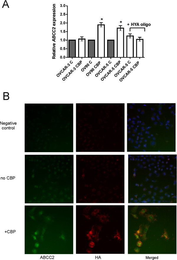 Chemotherapy treatment increases ABCC2 expression in ovarian cancer cells. A . qRT-PCR for ABCC2 expression. Ovarian cancer cells treated with LD 50 CBP for 72 hr. OVCAR-5 cells also treated in presence or absence of HA oligomers (HYA oligo, 250 μg/ml). Relative gene expression was determined by calibration against no CBP control and normalized to the house keeping gene β-actin using the 2 -∆∆CT method. Data represents mean ± SEM from 3 independent experiments performed in triplicate. B . OVCAR-5 treated with LD 50 CBP for 72 hr. Fixed cells were incubated with biotinylated HABP and ABCC2 mouse monoclonal antibody and visualized with Cy3-conjugated streptavidin (red) and FITC-conjugated donkey anti-mouse immunoglobulins (green) respectively. Nuclei are counterstained with DAPI dye (blue).