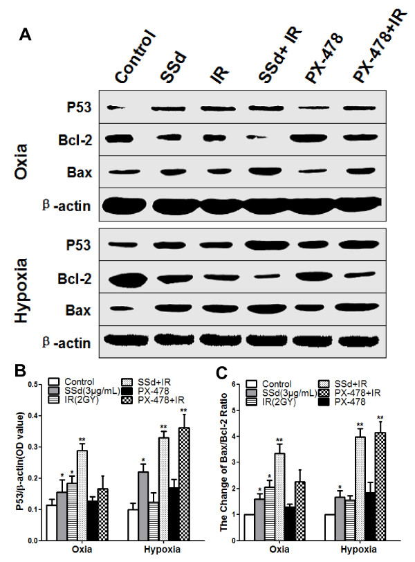 Effect of saikosaponin-d and radiation on the p53 levels and the bcl2/BAX ratio in SMMC-7721 human hepatocellular carcinoma cells under oxia and hypoxia. A . Western blot analysis of p53, Bax, and Bcl-2 levels under oxia and hypoxia. B . Relative expression of p53. C . Change of Bax/Bcl-2 ratio. SSd: saikosaponin-d; IR: radiation; *p