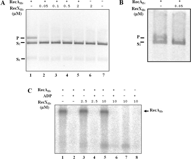 Inhibition by RecX of RecA-mediated DNA strand exchange and ATP binding. Effect of increasing concentrations of the RecX Hs protein on the DNA strand exchange mediated by Herbaspirillum seropedicae RecA (RecA Hs ) ( A ) or Escherichia coli RecA (RecA Ec ) ( B ). Effect of RecX Hs on the RecA ATP-binding activity ( C ). (+) indicates the presence and (-) the absence of the indicated components. S 1 is circular ssDNA, S 2 is linear dsDNA and P is nicked circular dsDNA.