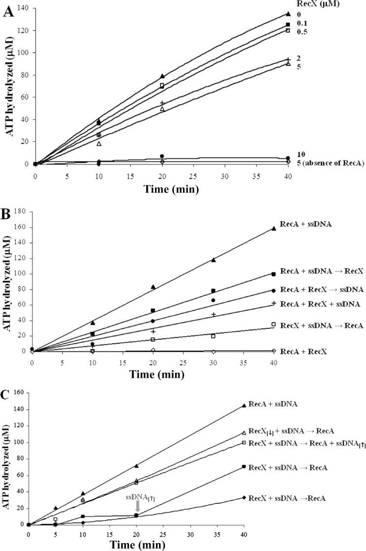 Effect of the RecX Hs protein concentration ( A ), the order of its addition ( B ) and the effect of <t>ssDNA</t> ( C ) on the ATP hydrolysis mediated by <t>RecA</t> Hs . A , The RecA Hs protein, φX174 circular ssDNA and increasing concentrations of RecX Hs protein (0 µM, filled triangles; 0.1 µm, filled squares; 0.5 µm, open squares; 2 µm, crosses; 5 µm, open triangles; 10 µM, filled circles) were incubated in ATPase buffer at 37°C for 10 min. After this period, the SSB protein and [α 32 P]-ATP were added. As a control without RecA, 5 µM RecX Hs was incubated with ssDNA (open lozenges). B , Two of the following components: φX174 circular ssDNA, RecA Hs and RecX Hs proteins were pre-incubated in ATPase buffer at 37°C for 10 min. After this period, the third component (RecX, ssDNA or RecA) was added together with the SSB protein and [α 32 P]-ATP (filled squares, filled circles, open squares). Alternatively, all three components were pre-incubated together under the same conditions, before the addition of the SSB protein and [α 32 P]-ATP after 10 min (crosses). As controls, RecA Hs was incubated with ssDNA in the absence of RecX (filled triangles) or incubated with RecX Hs in the absence of ssDNA (open lozenges). C , RecX Hs (0.5 or 5 µM) and φX174 circular ssDNA were pre-incubated in ATPase buffer at 37°C for 10 min. After this period, RecA alone (filled lozenges, open triangles), RecA plus ssDNA (132 µM, open squares) or RecA and then ssDNA (132 µM, added just 20 min later, as indicated by the gray arrow; filled squares) were added together with the SSB protein and [α 32 P]-ATP. The concentration of RecA Hs was unchanged and ssDNA [↑] and RecX [↓] indicate the following unusual concentrations: 132 µM ssDNA and 0.5 µM RecX, respectively. In all of the assays after the addition of [α 32 P]-ATP (zero time), aliquots were collected and stopped.
