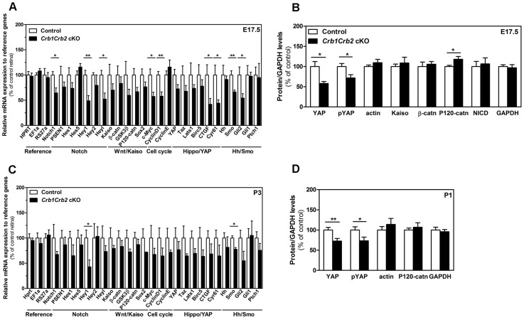 CRB1 and CRB2 acts on the proliferative signalling pathways. Transcript levels measured by quantitative PCR at E17.5 (A) and P3 (C) in 3–6 control and Crb1Crb2 cKO retinas showed changes in Notch1, YAP, sonic hedgehogs and cell cycle genes at E17,5 whereas at P1 these genes were not significantly changed except Hey1 and Smoothened. Quantification of protein levels of control and Crb1Crb2 cKO retinal lysates (N = 3–5 for each Western blot and Western blots were repeated 2–4 times) at E17.5 (B) and P1 (D). Protein levels of YAP and pYAP were reduced at E17.5 and P1 whereas P120-catenin was increased and β-catenin and Kaiso unchanged at E17.5. Data are presented as mean ± s.e.m *P