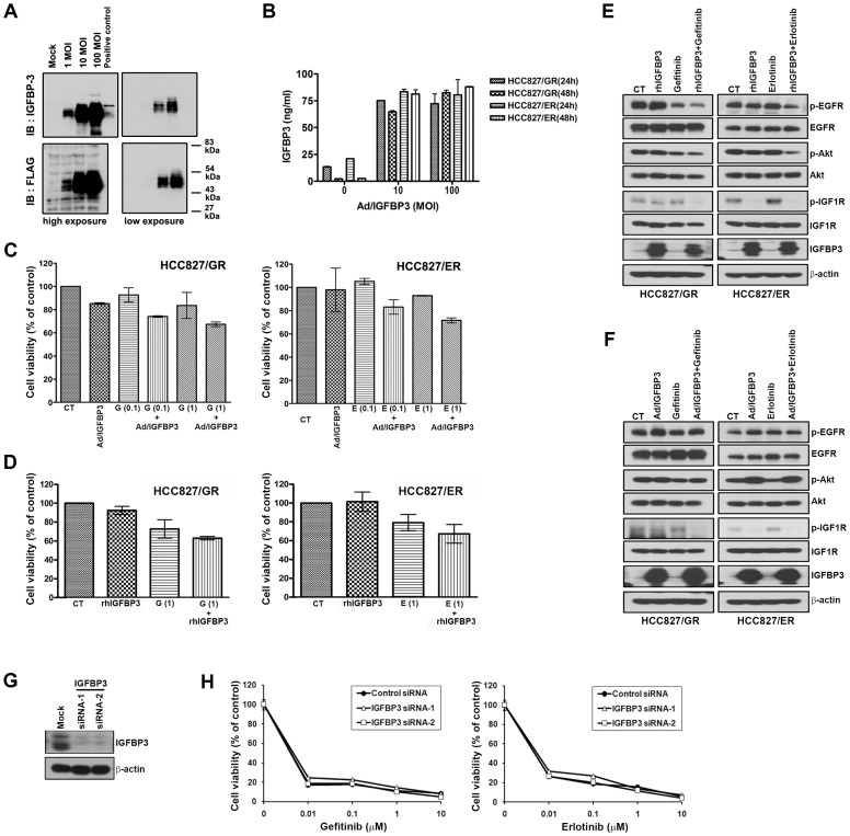 Effects of increased IGFBP3 on the sensitivity to EGFR-TKIs. Resistant cells were infected with Ad/IGFBP-3 at MOIs of 0 to 100 PFU/cell for 48 h and IGFBP-3 expression was determined by Western blotting (A) and ELISA (B). (C) HCC827/GR and HCC827/ER cells were treated with the indicated concentration of EGFR-TKIs for 72 h after infection with 100 MOI of Ad/IGFBP-3. (D) HCC827/GR and HCC827/ER cells were treated with 1 µM EGFR-TKIs and 1 µg/mL rh IGFBP-3 for 72 h. Results are representative of at least three independent experiments, and the error bars represent standard deviation (SD). (E and F) Cells were treated with drugs, rh IGFBP-3 or Ad/IGFBP-3 as in panel C and D. After 24 h, cells were harvested and the modulation of EGFR and IGF1R signalling in the indicated cell lines was detected by Western blotting. (G) Control and IGFBP-3 siRNAs (100 nM) were introduced into HCC827 cells, and IGFBP-3 suppression was confirmed by Western blotting. (H) Cell viability was measured using the MTT assay 72 h later.