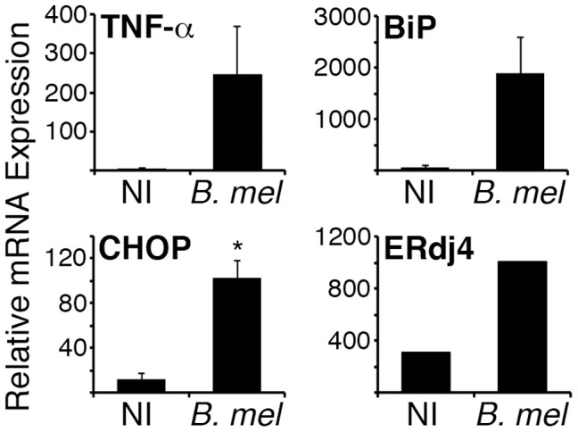 Brucella induces the UPR in vivo . BALB/c mice were injected ip with PBS (NI) or 10 7 B. melitensis ( B. mel ). After 24 h, CD11b+ cells were isolated from pooled spleens and cells were resuspended in Trizol for RNA purification. TNF-α, BiP, CHOP, and ERdj4 gene expression was detected by qPCR with normalization to 18S rRNA. Error bars denote standard deviations between 2 pools (7 mice each). ERdj4 expression is from 1 pool each (NI or B. mel ) of 4 mice. Results represent 2 independent experiments. *p = 0.01.