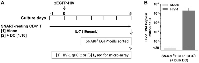 Acquisition of latently infected cells for microarray analysis. ( A ) SNARF-labelled resting CD4 +  T cells were cultured with or without syngeneic blood DC. Following 24 hours of culture, cells were mock-infected with media alone (control) or infected with NL(AD8)-nef/EGFP (MOI of 5). Cells were cultured with IL-7 (10 ng/mL) throughout the culture period. On day 5 post-infection, SNARF hi EGFP − CD4 +  T cells were sorted and lysed for either microarray or ( B ) qPCR, where total HIV DNA was quantified.