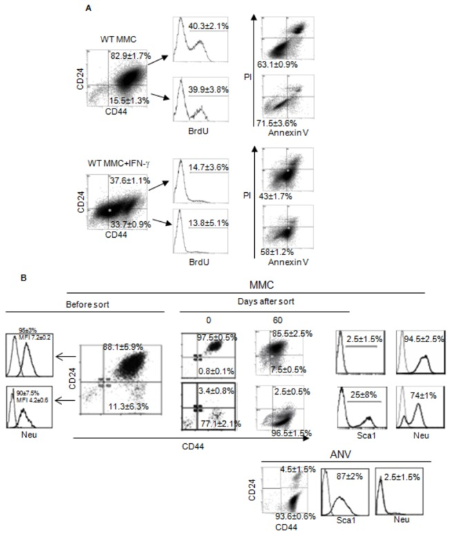 The CD44+CD24- stem-like population and CD44+CD24+ population of WT MMC respond similarly to IFN-γ. WT MMC tumor cells were cultured with or without IFN-γ (50 ng/ml/10 6 cells) for 3 days and CD44+CD24- as CD44+CD24- populations were analyzed for viability (Annexin V-/PI-) and proliferation (BrdU) by flow cytometry (A), these two population where sorted from WT MMC cells using a BD FACSAria III cell sorter and cultured for 60 days, after that analysis of CD24, CD44, Sca1 and neu was done (B) by flow cytometry. Also analysis of relapsed ANV tumor is shown. Data represent two independent experiments.