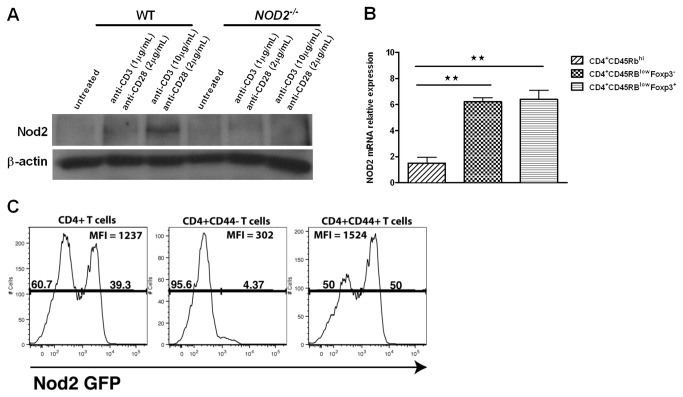 Nod2 is expressed in CD4 + T cells and inducible after TCR ligation. (A) Splenic CD4 + T cells isolated from C57BL/6 or NOD2 -/- mice were cultured alone or in presence of anti-CD3 (1-10µg/mL) and anti-CD28 (2µg/mL) monoclonal antibodies for 24 hours. Nod2 expression was assessed by western blot. (B) Naïve CD4 + CD45RB high , effector CD4 + CD45RB low Foxp3 - and regulatory CD4 + CD45RB low Foxp3 + splenic T cell subsets were isolated from Foxp3-GFP mice and Nod2 mRNA level was assessed by RT-qPCR. (C) Lamina propria lymphocytes were isolated from the cecum of NOD2-GFP mice and analyzed by flow cytometry. The histograms show the level of GFP expression. Cells were gated on total viable TCRβ + CD4 + cells (left panel), on TCRβ + CD4 + CD44 - cells (middle panel), or TCRβ + CD4 + CD44 + cells (right panel).