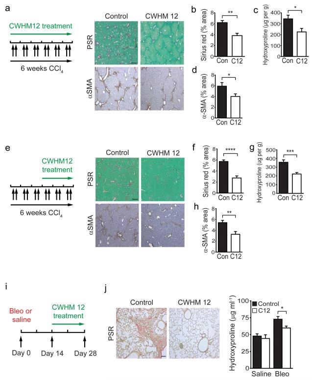Blockade of αv integrins by a novel small molecule (CWHM 12) attenuates liver and lung fibrosis ( a ) Dosing regime in the prophylactic liver fibrosis model (left panel). Alzet minipumps containing CWHM 12 or vehicle were inserted, followed by CCl 4 I.P. twice weekly for 6 weeks. Picrosirius red (upper) and αSMA immunohistochemistry (lower) of liver tissue from control and CWHM 12 treated mice ( n = 6 female mice per group) after chronic CCl 4 treatment. Scale bar, 200μm. ( b ) Digital image analysis of picrosirius red staining. ( c ) Hydroxyproline analysis. ( d ) Digital image analysis of αSMA staining. ( e ) Dosing regime in the therapeutic liver fibrosis model (left panel). Mice were given CCl 4 I.P. twice weekly for 3 weeks, then Alzet minipumps containing either CWHM 12 or vehicle were inserted, followed by a further 3 weeks of CCl 4 I.P. twice weekly. Picrosirius red (upper) and αSMA immunohistochemistry (lower) of liver tissue from control and CWHM 12 treated mice ( n =14 female mice per group) after chronic CCl 4 treatment. Scale bar, 200μm. ( f ) Digital image analysis of picrosirius red staining. ( g ) Hydroxyproline analysis. ( h ) Digital image analysis of αSMA staining. ( i ) Dosing regime in the therapeutic lung fibrosis model. Alzet minipumps containing either CWHM 12 or vehicle were inserted 14 days after treatment with bleomycin or saline, and lungs were harvested at 28 days. ( j ) Picrosirius red staining of lung tissue from control and CWHM 12 treated mice 28 days after bleomycin instillation ( n = 15 female mice per group). Scale bar, 100μm (left panel). Hydroxyproline analysis (right panel). Data are mean ± s.e.m. * P