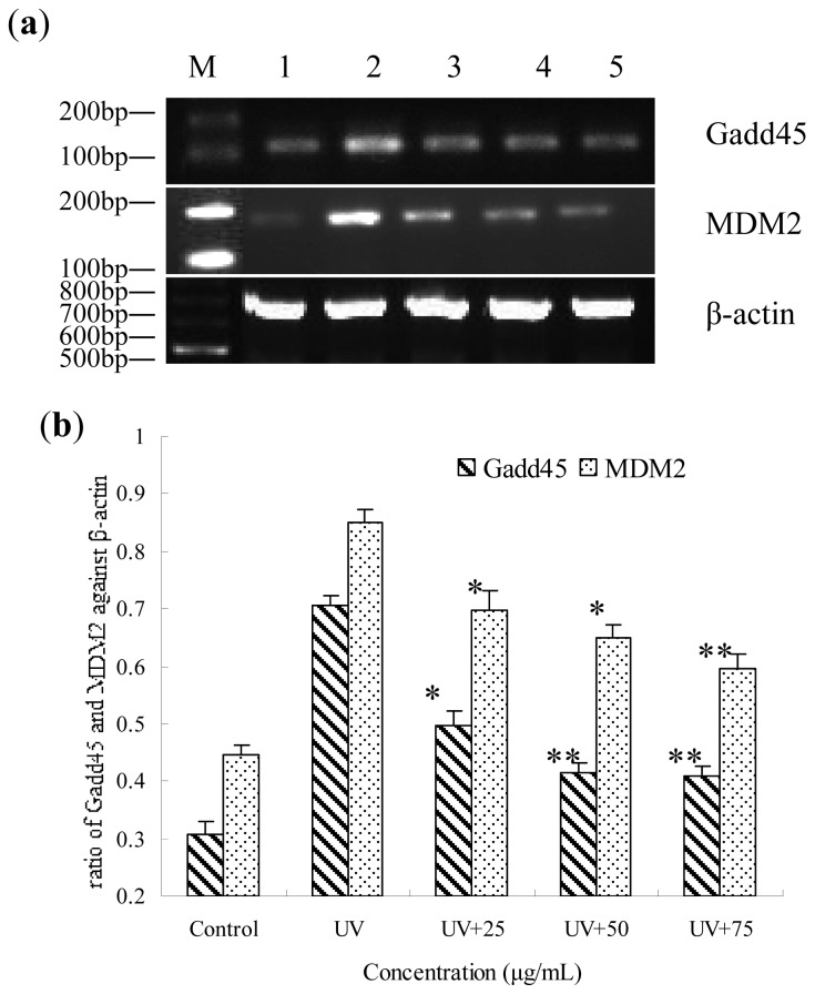 Gene expression of Gadd45 and MDM2 by RT-PCR in UV-irradiated HepG2 cells that were pre-treated for 12 h with BA. ( a ) Lane M, marker; lane 1 control (no UV radiation); lane 2, UV radiation; lane 3, UV+ 25 μg/mL; lane 4, UV+ 50 μg/mL; lane 5, UV+ 75 μg/mL; ( b ) The relative expression of Gadd45 and MDM2 value after normalizing to β-actin. * p
