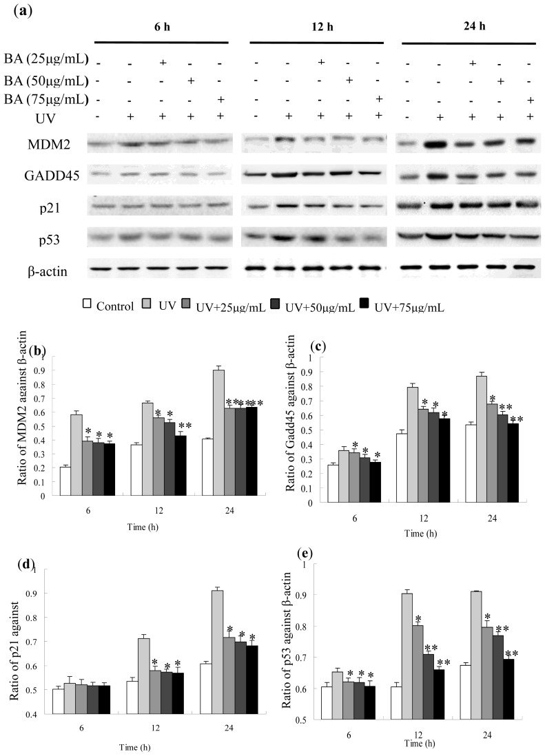Western blot detection of Gadd45, MDM2, p53 and p21 protein expression in UV-irradiated and BA pre-treated HepG2 cells. ( a ) Western blotting with HepG2 cells that were treated with or without BA, irradiated or non irradiated with a UV dose of 30 mJ/cm 2 and harvested at the indicated times following treatment; ( b ) The relative expression of Gadd45 value after normalizing to β-actin; ( c ) The relative expression of MDM2 value after normalizing to β-actin; ( d ) The relative expression of p21 value after normalizing to β-actin; ( e ) The relative expression of p53 value after normalizing to β-actin. * p