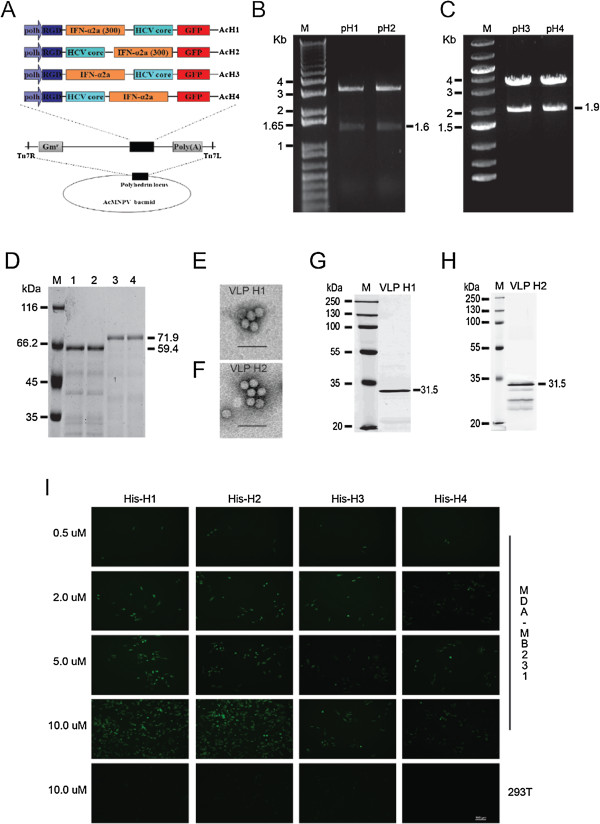 RGD-core-IFN-α2a fusion proteins bind breast cancer cells MDA-MB231 in vitro. (A) Recombinant bacmid constructs, showing the strategy for insertion of the gene cassettes into the polyhedrin locus of the AcMNPV bacmid. RGD-HCV core was fused with IFN-α2a. Both cassettes depicted were inserted into the attb site (indicated by the right and left insertion sites, Tn7R and Tn7L) in the polyhedrin locus by Tn-based transposition and generated the recombinant Bacmid: AcH1, AcH2, AcH3, and AcH4. (B) Identification of pH1 and pH2. M: 1Kb Plus DNA ladder; pH1 and pH2 samples were digested by BamHI and EcoRI. (C) Identification of pH3 and pH4. M: O'Gene Ruler 1Kb DNA ladder; pH3 and pH4 samples were digested by BamHI and EcoRI. (D) Purification of RGD-core-IFN-α2a fusion protein. M: protein marker; 1: His-H1; 2: His-H2; 3: His-H3; 4: His-H4. The recombinant bacmids AcH1, AcH2, AcH3, and AcH4 were introduced by transfection into Sf9 cells to produce the recombinant proteins His-H1, His-H2, His-H3, and His-H4. The fusion proteins were purified from the supernatants of cell lysates using Ni-NTA affinity resin. (E , G) Electron micrograph images and Western blotting result of VLP H1. Purified VLPs were attached onto a carbon-coated grid for 5 min at room temperature. The grid was rinsed with distilled water and stained with 1% phosphotungstic acid for 3 min before air drying on filter paper. The specimens were viewed using a Tecnai G2 transmission electron microscopy at 75 keV. For Western blot, 10 μg purified VLPs were separated by SDS-PAGE electrophoresis and subjected to Western blot assay. (F , H) Electron micrograph images and Western blotting result of VLP H2. (I) RGD-core-IFN-α2a fusion protein bind with breast cancer cells MDA-MB231. Then, 0.2, 0.5, 2, 5, and 10 μM fusion proteins His-H1, His-H2, His-H3, and His-H4 were co-incubated with MDA-MB231 at 37° under 5% CO 2 . After 2 h, the cells were washed three times with PBS, and green fluorescence was observed under the flu