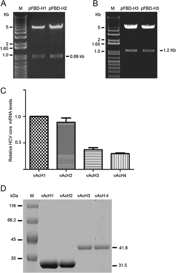 Transcription and expression of HCV core-IFN-α2a recombinant viruses. (A) Identification of pFBD-H1 and pFBD-H2. M: 1Kb Plus DNA ladder; pFBD-H1 and pFBD-H2 samples were digested by BamHI and EcoRI. (B) Identification of pFBD-H3 and pFBD-H4. M: 1Kb Plus DNA ladder; pFBD-H3 and pFBD-H4 samples were digested by BamHI and EcoRI. (C) RT-PCR results of HCV core gene in recombination viruses infect cells. Total RNA was isolated from Sf9 infected with vAcH1, vAcH2, vAcH3, or vAcH4. cDNA was synthesized with SuperScript First Strand Synthesis kit (Invitrogen) with 0.5 to 1.0 μg RNA according to the manufacturer's instructions. Quantitative RT-PCR reactions were carried out using SYBR Green PCR master mix reagents on an ABI 7500 Fast Real-Time PCR System (Applied Biosystems). (D) Expression of HCV core-IFN-α2a fusion protein in recombinant virus infected cells. M: protein marker. Cells were harvested at 72 h post-infection (hpi) and lysed in SDS-PAGE loading buffer. Twenty micrograms of total protein was separated by SDS-PAGE and subjected to Western blot assay.