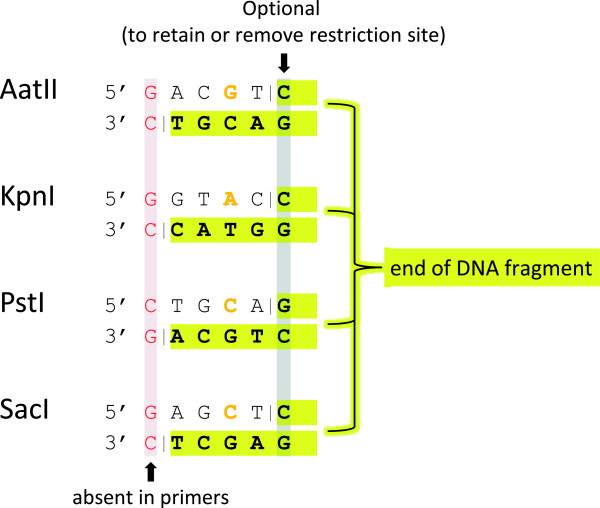 Cohesive dsDNA ends created in this study. In order to ligate insert DNA fragments efficiently with a linearized target plasmid vector, both molecules have to carry compatible cohesive ends. For the vector DNA, 5′ recessed ends are created by conventional restriction enzyme treatment. Names and recognition sequences of the enzymes used in this study are listed. For other enzymes, please refer to REBASE [ 60 ]. Endonucleolytic cleavage positions are depicted as vertical dashes. Insert DNA fragments with compatible cohesive ends are created by PCR and subsequent endonuclease V treatment (as illustrated in Figure 2 ). The 5′ ends of the PCR primers and the termini of the corresponding PCR products differ from the shown sequences: They lack the first nucleotide (shown in red) and carry deoxyinosine instead of the residue shown in orange. EndoV treatment of the PCR product results in 5′ recessed ends shown in bold letters with yellow background. If the residue highlighted in grey is omitted from the oligonucleotide design, ligation of the insert fragments with linearized plasmid DNA does not reconstitute the restriction enzyme site.