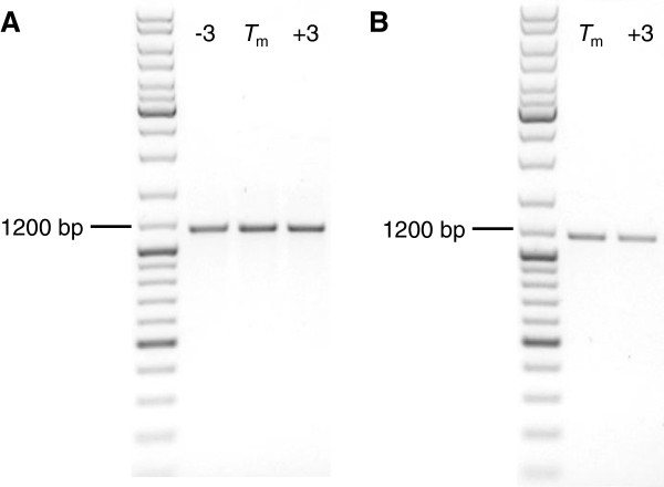 Robust PCR-amplification of insert DNA fragments using deoxyinosine-containing primers. Analytical agarose gel electrophoresis of PCR products produced by Taq polymerase using either plasmid DNA (A) or E. coli colonies (B) as template material. Relative to the calculated T m , annealing temperatures used for PCR cycling are indicated for each lane.