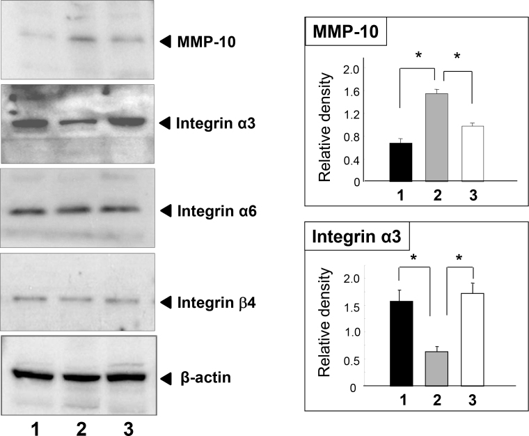 Matrix metalloproteinases (MMP)-10 and integrin α3 protein levels in the corneas of rats fed normal chow (lane 1) or 50% galactose in the absence (lane 2) or presence (lane 3) of aldose reductase inhibitor were analyzed by immunoblotting. The protein expression level of MMP-10 was enhanced by exposure to 50% galactose, while integrin α3 expression decreased. These changes were normalized with the treatment of aldose reductase inhibitor. No significant change was found in the expression levels of integrin α6 or β4. The bar graphs illustrate the intensities of the bands relative to β-actin. The values are mean±standard error of the mean; *p