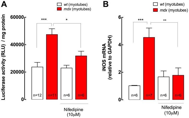 NF-κB activity and iNOS expression in both wt and mdx myotubes. A. NF-κB activity was studied with a luciferase reporter. Nifedipine treatment (10 µM for 6 h) reduced NF-κB activity in mdx , without any significant effect in wt myotubes (n = 6–12). B. mRNA levels of iNOS were determined by real time PCR after 6 h of nifedipine treatment (10 µM) (n = 6–7). Data are expressed as mean ± S.E.M., * P