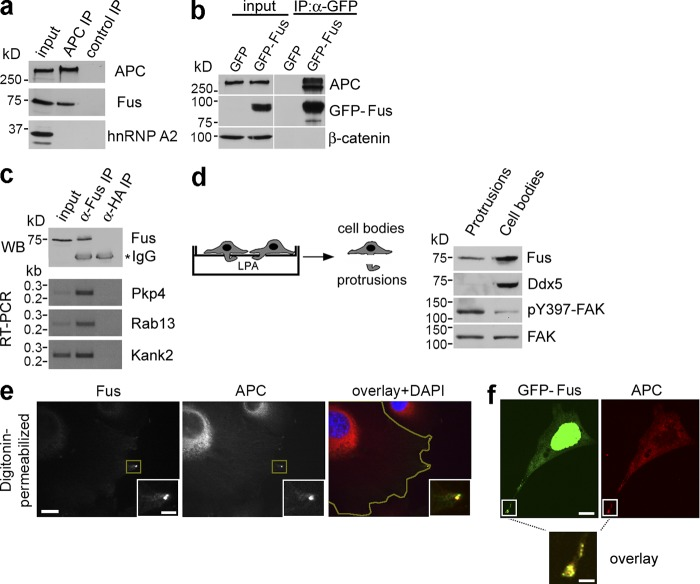 The RNA-binding protein Fus is a component of APC-RNPs at cell protrusions. NIH/3T3 cells untransfected (a and c) or transfected with GFP or GFP-Fus (b) were immunoprecipitated (IP) with the indicated antibodies and analyzed by Western blot (a–c, top panel) or by RT-PCR (c, bottom panels). (d) NIH/3T3 cells were plated on microporous filters, induced to migrate by addition of LPA, and protrusions and cell bodies were isolated and analyzed by Western blot. (e) NIH/3T3 cells were immunostained to detect endogenous Fus and APC. Insets: magnification of the boxed protrusive area. Yellow line in overlay panel: cell outline (f) GFP-Fus–expressing cells immunostained to detect APC. Bars, 10 µm (insets, 3 µm).