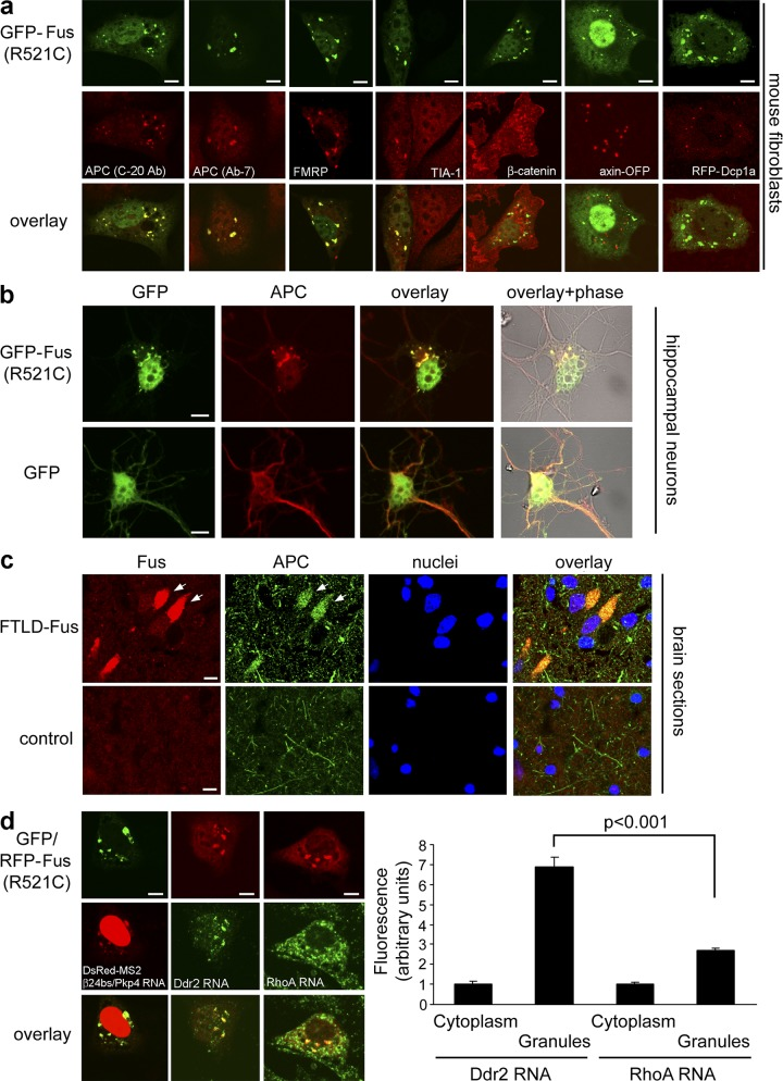 Preferential recruitment of APC-RNPs in cytoplasmic granules formed by an ALS-associated mutant of Fus. (a) NIH/3T3 cells were transfected with GFP-Fus(R521C) (top panels). Middle panels show distribution of coexpressed fluorescently tagged proteins or immunostaining of endogenous proteins. (b) Primary hippocampal neurons were transfected with GFP or GFP-Fus(R521C) and were immunostained at DIV5 to detect APC. (c) Hippocampal sections from a patient with FTLD-Fus (sporadic NIFID) and a control donor were stained for Fus and APC. Nuclei were stained with Draq5. Arrows point to Fus granules. Note that likely both glial cells and neurons are present in these sections. (d) NIH/3T3 cells transfected with GFP- or RFP-Fus(R521C) were analyzed by FISH to detect the Ddr2 or RhoA mRNAs or were cotransfected with DsRed-MS2 and an MS2 reporter RNA carrying the Pkp4 3′UTR (β24bs/Pkp4). Graph shows relative fluorescence intensities of Ddr2 and RhoA mRNAs within the cytoplasm or Fus granules. P-value is by Student's t test. Bars, 8 µm.