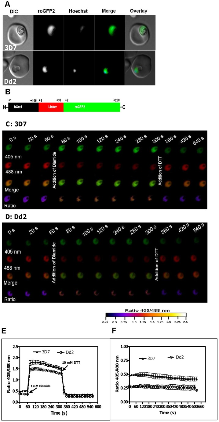 Real-time imaging of the glutathione redox potential in P. falciparum . A. Confocal live cell images of 3D7 and Dd2 parasites showing the expression of hGrx1-roGFP2 localized in the cytosol. B . hGrx1-roGFP2 is a fusion protein with human glutaredoxin 1 (hGrx1, black) fused to the N-terminal end of roGFP2 (green) through a linker (red) comprising 30 amino acids (Gly-Gly-Ser-Gly-Gly) 6 . Live cell imaging of the trophozoite stages of ( C ) 3D7 hGrx1-roGFP2 and ( D ) Dd2 hGrx1-roGFP2 . After 60 s, 3D7 ( C ) and Dd2 ( D ) parasites were treated with 1 mM diamide followed 4 min later by addition of 10 mM dithiothreitol (DTT). 405 nm, 488 nm, merge (405/488 nm), and false color ratio images at different time points are shown. E . The ratio of emissions (ratio 405/488 nm) after excitation at 405 and 488 nm was computed for both strains and plotted against time. Data from 5 trophozoites for each strain were analyzed per data point. F . Fluorescence ratio as a function of time. The ratio 405/488 nm remained stable over a period of 10 min. Data from 5 trophozoites for each strain were analyzed per data point. Mean and standard errors of the mean are shown.