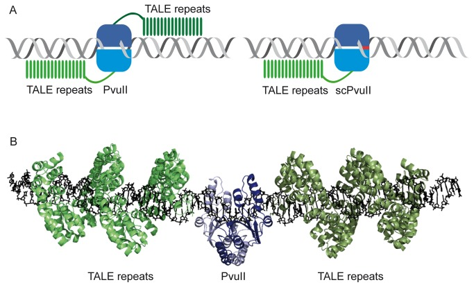 TALE-PvuII fusion proteins. ( A ) Scheme of the architecture of TALE–PvuII fusion proteins. Left: wtPvuII, a homodimer in which the DNA-binding module of a TALE protein is fused via a linker of defined length. Right: scPvuII, a monomeric nuclease in which the DNA-binding module of a TALE protein is fused via a linker of defined length. ( B ) Model of a TALE–wtPvuII fusion protein. The fusion protein is a dimer of identical subunits, each composed of a PvuII subunit and a TALE protein. This model was constructed by aligning the structures of the individual proteins [pdb 1pvi [ 74 ] and pdb 3ugm [ 76 ]] on a DNA composed of the PvuII recognition site and two TALE target sites up- and downstream of the PvuII recognition site, separated by 6 bp. The C-termini of the PvuII subunits and the N-termini of the TALE protein are separated by about 3 nm. This distance must be covered by a peptide linker of suitable length. The image was generated with PyMol.