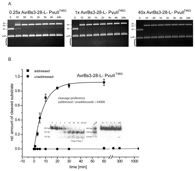 Analysis of competition cleavage experiments with AvrBs3-PvuII fusion proteins. ( A ) Competition cleavage experiments with AvrBs3-28-L-PvuII T46G under physiological ionic strength. Shown is the cleavage pattern with supercoiled plasmid DNA with an addressed site (8 nM) in competition with a PCR fragment (unP) with an unaddressed site (32 nM). The experiment was carried out with a variable excess of enzyme over plasmid substrate (0.25 to 40-fold). The enzyme shows complete cleavage of the addressed substrate but no cleavage of the unaddressed substrate, even in an overnight incubation with a 40-fold excess of enzyme over the addressed plasmid substrate (8 nM) and 10-fold excess over the unaddressed PCR substrate (32 nM). The brackets indicate the positions where one would expect the products of cleavage of the unaddressed PCR substrate. oc, open circle; lin, linearized; sc, supercoiled. ( B ) Quantitative determination of the preference of AvrBs3-28-L-PvuII T46G for an addressed (T3-6bp-P-6bp-T3) over an unaddressed site (-P-). The reactions were performed in triplicate under physiological conditions with 20 nM enzyme and 20 nM addressed substrate (squares) and unaddressed substrate (circles), both PCR fragments were radioactively labelled with [α 32 P]dATP. The insert shows the primary data: the electrophoretic analysis of the cleavage reaction products using an Instant Imager. From the fit, a cleavage preference of > 34,000-fold was determined.