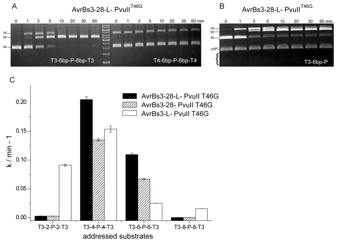 """Analysis of the cleavage activity of AvrBs3-PvuII fusion proteins on AvrBs3 and AvrBs4 substrates. ( A ) Specificity of cleavage analyzed with the T3-6bp-P-6bp-T3 substrate and the T4-6bp-P-6bp-T4 substrate which differ in 11 (8, respectively, considering the degeneracy of the TALE recognition code) out of 19 positions from the AvrBs3 target site. No nicking or cleavage of the AvrBs4 substrate (8 nM) by AvrBs3-28-L-PvuII T46G (8 nM) could be detected. ( B ) Cleavage of a """"half-site"""" substrate by AvrBs3-28-L-PvuII T46G . The """"half-site"""" substrate is a bipartite substrate consisting of an AvrBs3 recognition site and a PvuII recognition site (T3-6bp-P). The sc plasmid (8 nM) with the """"half-site"""" was incubated with an equimolar concentration of AvrBs3-28-L-PvuII T46G (8 nM). The assay was done under physiological ionic strength and in competition with a 32 nM PCR fragment (unP) with one unaddressed PvuII site (-P-). Whereas the """"half-site"""" substrate is cleaved almost to completion, the unaddressed PCR fragment is not cleaved at all. ( C ) The effect of the distance of the AvrBs3 and the PvuII site on the rate of DNA cleavage by various AvrBs3-PvuII fusion proteins. 20 nM radioactively labelled PCR fragments with 2 (T3-2-P-2-T3), 4 (T3-4-P-4-T3), 6 (T3-6-P-6-T3) and 8 (T3-8-P-8-T3) bp between the AvrBs3 and the PvuII site were incubated with 20 nM AvrBs3-28-L-PvuII T46G , AvrBs3-28-PvuII T46G and AvrBs3-L-PvuII T46G for 60 min."""