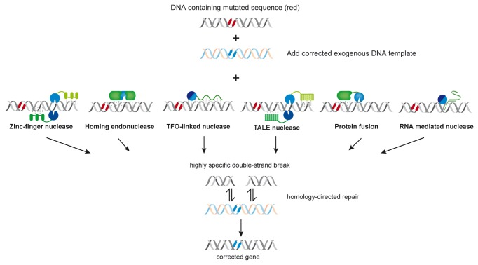 """Engineered highly specific endonucleases that can be used for gene targeting by introducing a double-strand break into a complex genome and thereby stimulating homologous recombination. With the exception of engineered homing endonucleases (""""meganucleases"""") in which the function of DNA binding and DNA cleavage is present in the same polypeptide chain [ 77 ], the other engineered nucleases consist of separate DNA-binding (green) and DNA-cleavage (blue) modules. Zinc finger nucleases and TALE nucleases usually have the non-specific cleavage domain of the restriction endonuclease FokI as DNA-cleavage module, but as shown recently and in the present paper the restriction endonuclease PvuII can also be used for this purpose [ 54 ]. PvuII has also been employed in TFO-linked nucleases [ 49 ] and in protein fusions (with catalytically inactive I-SceI) [ 53 ] as DNA-cleavage module. Zinc finger nucleases, TALE nucleases and TFO-linked nucleases are programmable, as are the RNA-mediated nucleases [ 36 ] [modified after [ 3 ]] ."""