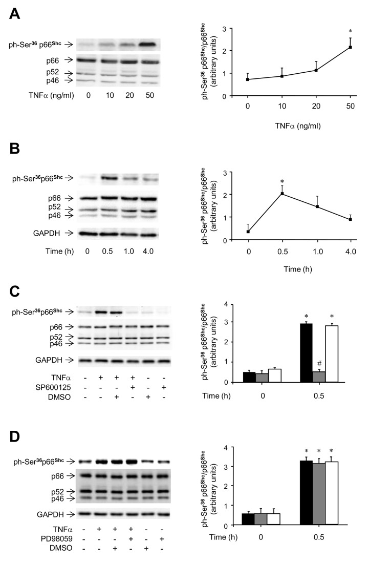 TNFα-induced phosphorylation of p66 Shc on Ser 36 in HUVEC. A . Dose-response studies. Cells were incubated with TNFα for 0.5 h at the indicated doses or left untreated. Representative immunoblots of p66 Shc phosphorylation on Ser 36 (top left) and Shc protein content (bottom left), and ratio of phosphorylated to total p66 Shc protein (right). Cell lysates were analyzed by immunoblotting with specific antibodies. B . Time-course studies. Cells were incubated with 50 ng/ml TNFα for the indicated times or left untreated. Representative immunoblots of p66 Shc phosphorylation on Ser 36 (top left) and Shc protein content (bottom left), and ratio of phosphorylated to total p66 Shc protein (right). C . Effects of the JNK inhibitor SP600125 on TNFα-induced phosphorylation of p66 Shc on Ser 36 . Cells were pre-treated with 30 mM SP600125 for 2 h and then exposed to 50 ng/ml TNFα for 0.5 h. Representative immunoblots of p66 Shc phosphorylation on Ser 36 (top left) and Shc protein content (middle left), and ratio of phosphorylated to total p66 Shc protein ( right ; untreated cells, black bars; inhibitor-treated cells, grey bars; DMSO-treated cells, white bars). D . Effects of the MEK inhibitor PD98059 on TNFα-induced phosphorylation of p66 Shc on Ser 36 . Cells were pre-treated with 30 mM PD98059 for 2 h and then exposed to 50 ng/ml TNFα for 0.5 h. Representative immunoblots of p66 Shc phosphorylation on Ser 36 (top left) and Shc protein content (middle left), and ratio of phosphorylated to total p66 Shc protein ( right ; untreated cells, black bars; inhibitor-treated cells, grey bars; DMSO-treated cells, white bars). GAPDH protein content was used as loading control. * P