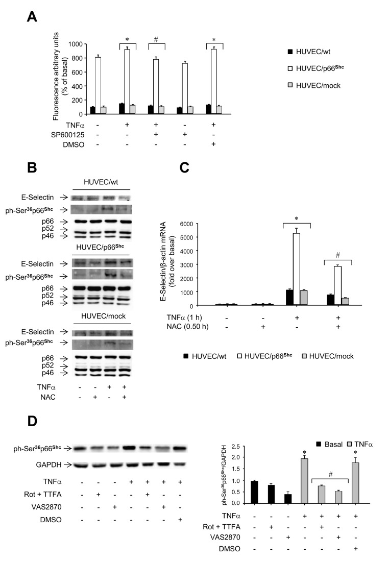 Role of oxidative stress in p66 Shc signaling. A . Levels of reactive oxygen species (ROS) in HUVEC/p66 Shc and control cells (HUVEC/wt and HUVEC/mock). Cells were pre-incubated with or without 30 mM SP600125 for 2 h and then treated with 50 ng/ml TNFα for 0.5 h or left untreated; ROS levels were evaluated by fluorimetry (HUVEC/wt, filled bars; HUVEC/mock, grey bars; HUVEC/p66 Shc , open bars). * P