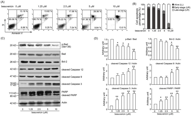 Effects of beauvericin on caspase-dependent apoptosis in Con A-activated T cells. Cells were seeded in 6-well plates and incubated with 1.25–10 µM beauvericin for 24 h in the presence of 5 µg/mL ConA. (A) Apoptosis was determined by Annexin V/PI staining. (B) Annexin V + /PI −  and Annexin V + /PI +  cells from 3 independent experiments are shown in columns. Representative western blot bands (C) and data summary (D) for cleaved caspase 3, 9, 12, PARP and Bcl-2/Bad in activated T cells after treatment with 1.25–10 µM beauvericin for 24 h. Data are expressed as a histogram of mean ± SEM of 3 independent experiments. * P