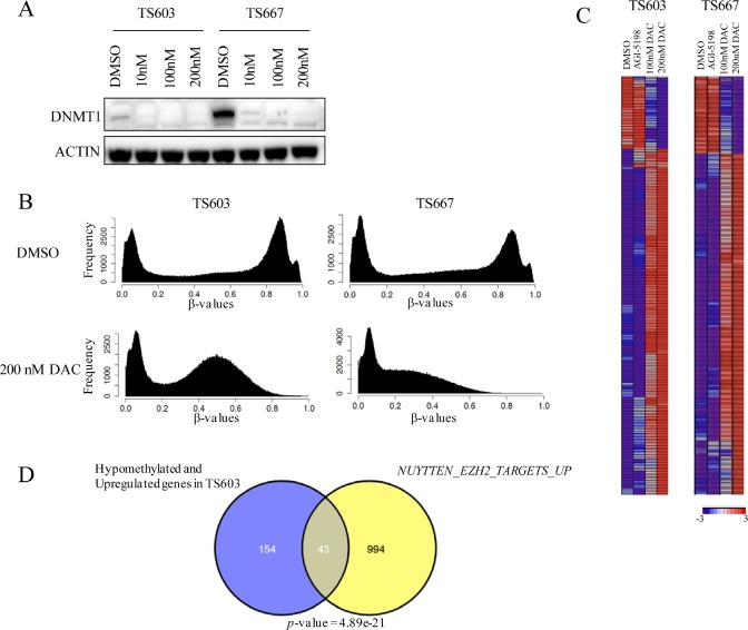 Decitabine reverses genome-wide DNA methylation and induces expression of genes associated with differentiation in IDH mutant glioma cells A, Low dose DAC inhibits DNMT1. Results from western blot shown. B, DAC treatment results in loss of DNA methylation. DNA methylome analysis of TS603 and TS667 cells following DAC treatment (200nM) is shown. Results from the Illumina HumanMethylation450 array. C, Gene expression changes following DAC treatment (200nM). Results from Affymetrix gene expression arrays. Most significantly altered genes following 200nM DAC are shown. D, Significant concordance between demethylated and upregulated genes and polycomb targets. Venn diagram showing overlap between the gene sets. P value (hypergeometric) is shown.